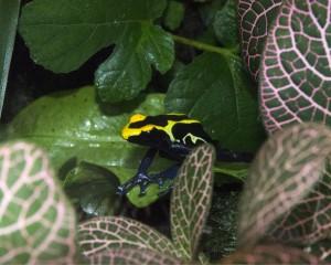 Yellow Poison Dart Frog