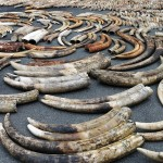 Tusks from poached elephants
