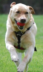 Waylon, a Labrador retriever, runs through a large lawn with a ball in his mouth