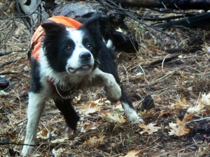 Frehley, a border collie, wears a safety vest and is in mid-jump for a ball