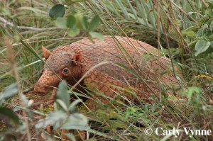 Close up of armadillo hiding amongst grass and underbrush