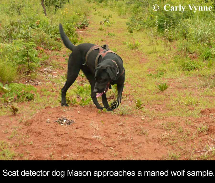 Image of black lab in a field detecting a scat sample. Embedded caption reads: Scat detector dog Mason approaches a maned wolf sample.