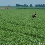 A large ostrich-like bird standing in the middle of a planted farm field