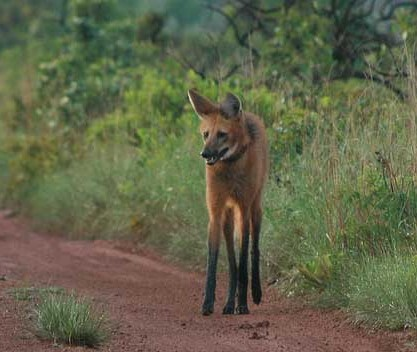 Maned wolf standing on dirt patch near underbrush