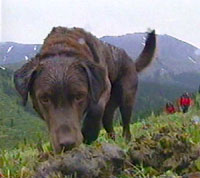 Moja, a brown lab that is wet from rain, points his nose at a scat sample in the wild.