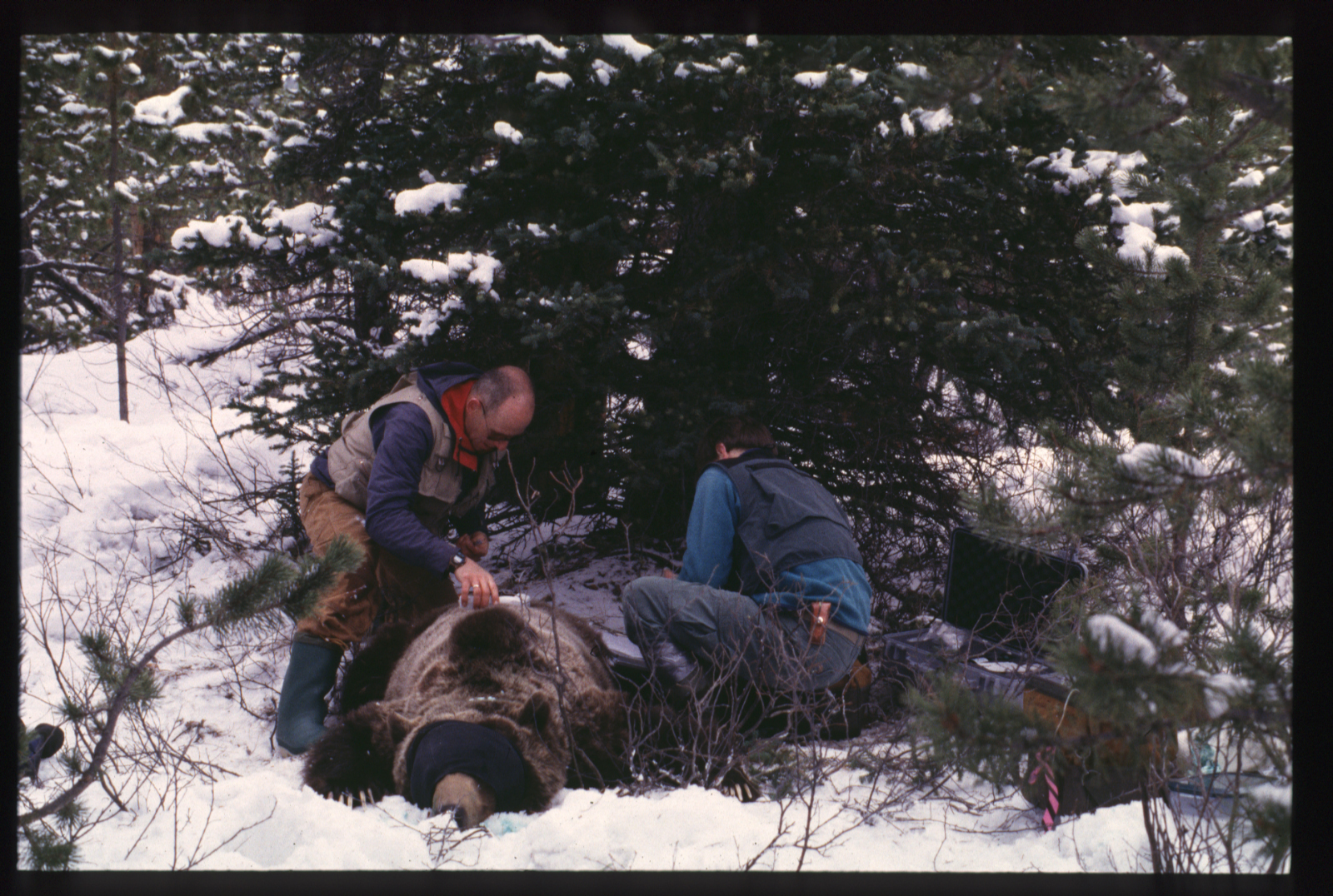 Two researchers fasten a radio collar to a tranquillized grizzly bear laying in the snow