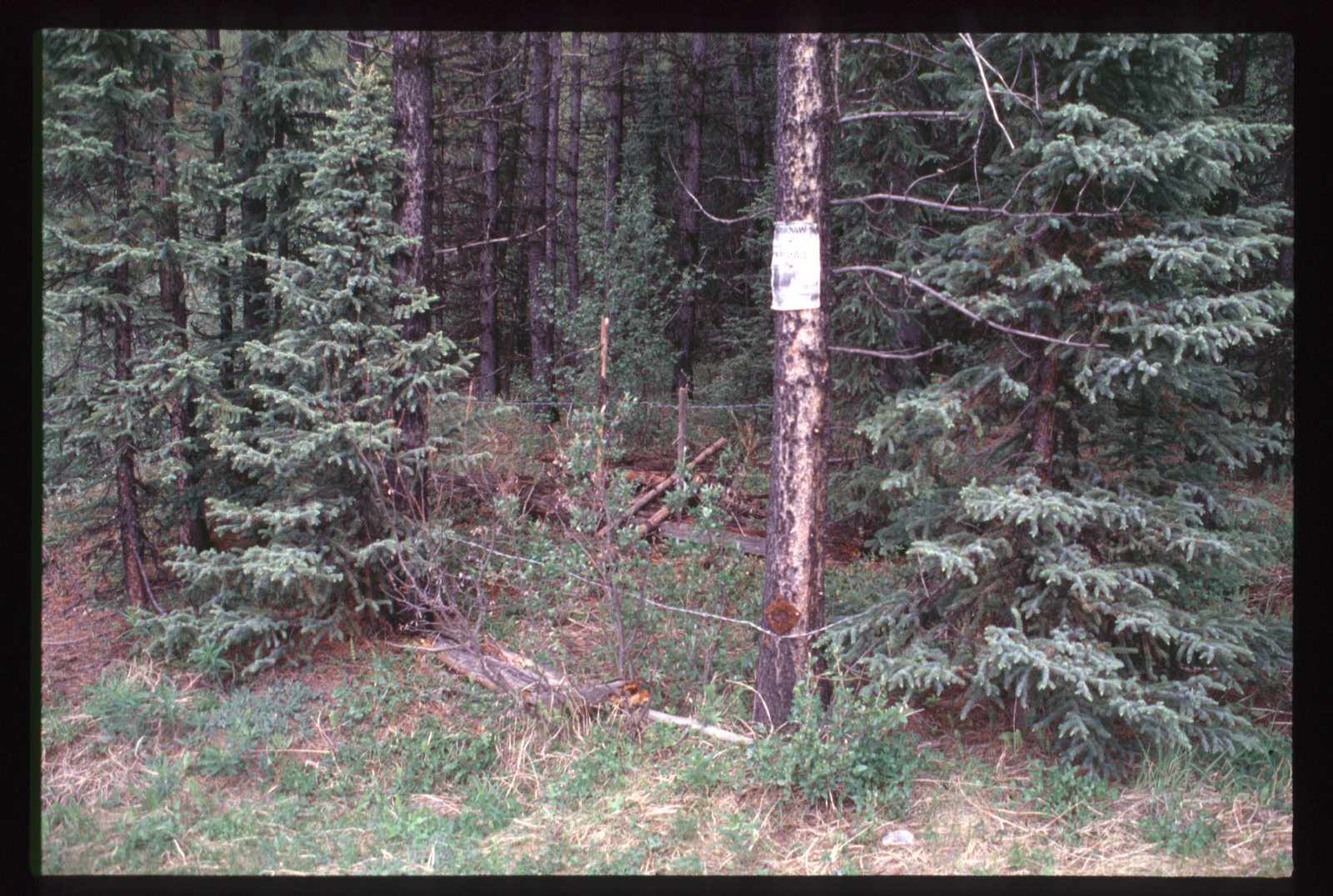 "A wooded area where researchers have set up a ""hair snag station"" on a tree trunk to collect grizzly bear fur"