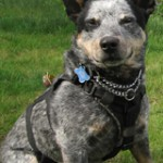 black and grey cattle dog, retired CK9 gator