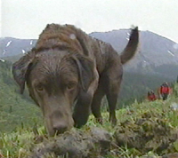 Brown lab sniffs the ground on a grassy hillside