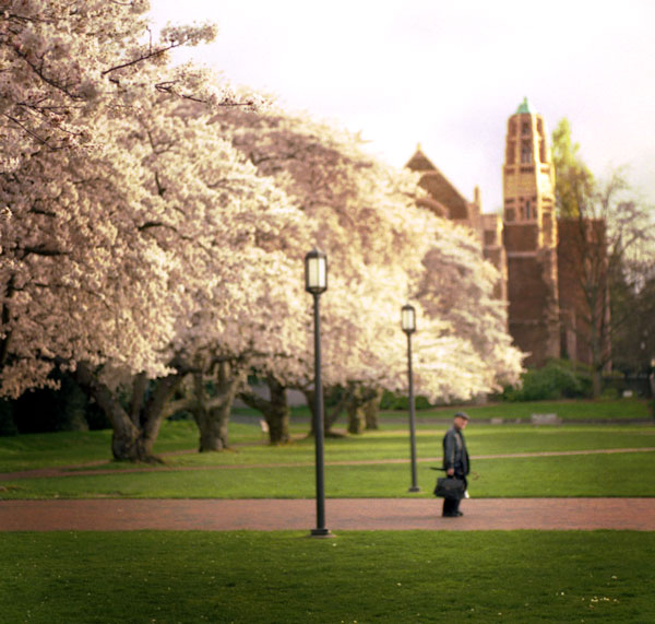 UW cherry blossoms in bloom in the Quad during sunset