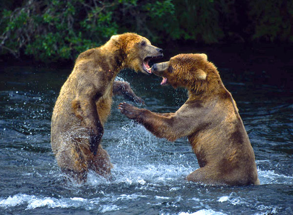 Two grizzly bears stand up in river and fight with teeth and claws