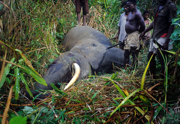 Dead, bloody elephant lies on the ground amongst reeds and small trees
