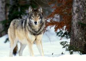 Grey wolf standing at edge of snowy forest