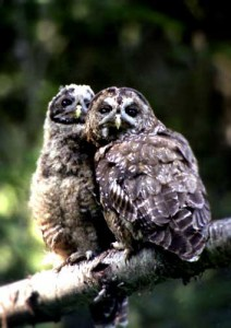 Two owls huddled on a tree branch in daylight