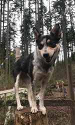 Small grey and black dog stands on a stump in the woods