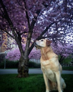 yellow dog with flowering tree