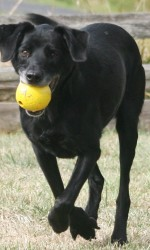 black dog running with yellow ball in mouth