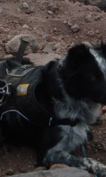 Sheila/Sheba, a border collie and cattle dog mix, wears a dog hiking pack with lays down on a rocky path