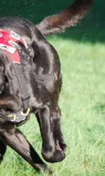 Black lab in red harness running in grass