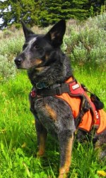 Grey cattle dog in an orange harness sits in the grass looking left.