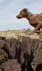 Brown dog leaps from rocks