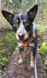 Small black and tan dog stands on log in the woods