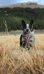 Black and grey cattle dog sits in a brown field with mountain in background