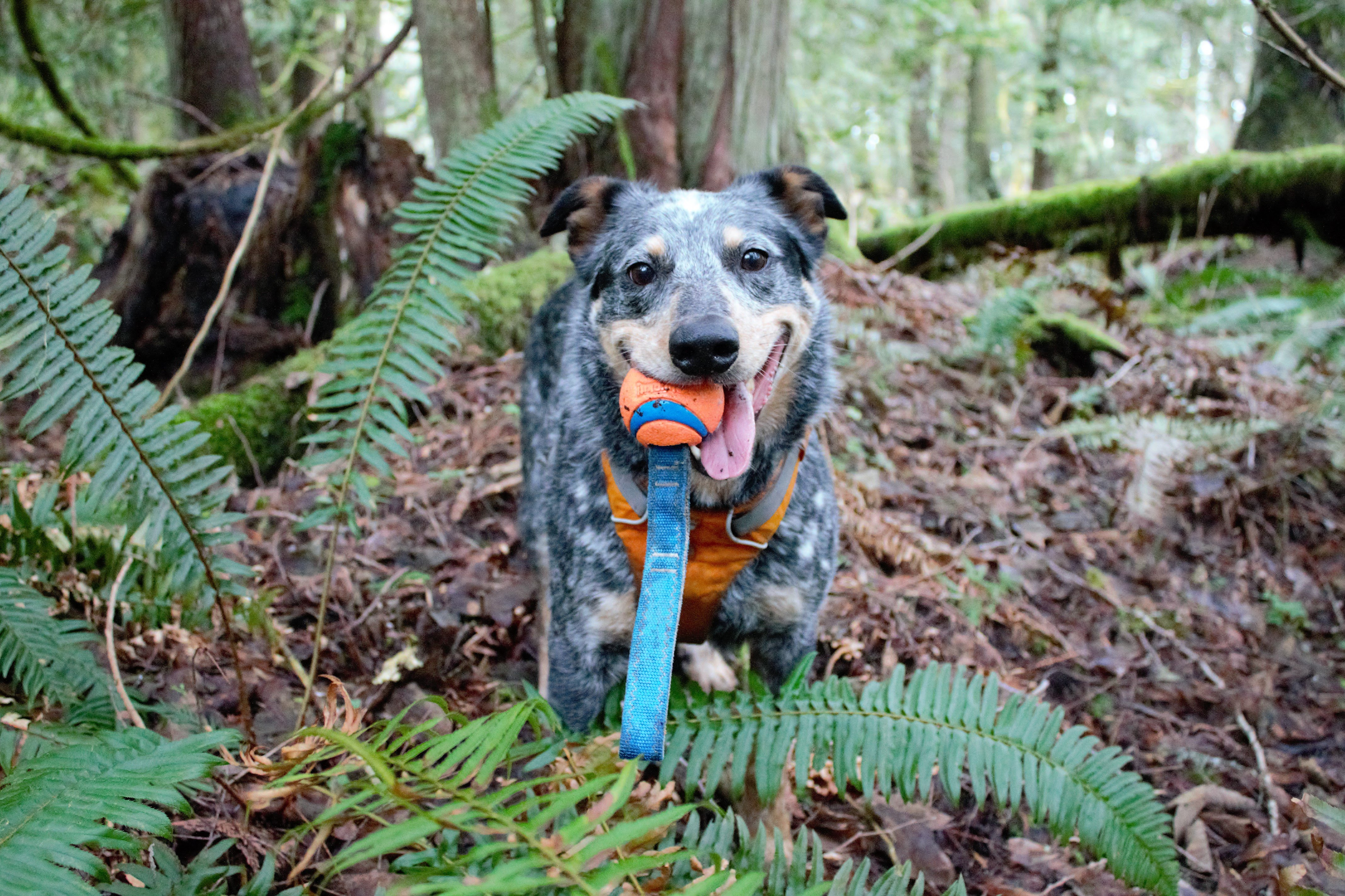 small grey and tan cattle dog stands in the woods with ball in his mouth