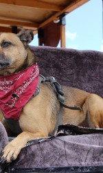 Tan dog with an underbite sits on seat with red bandana around his neck