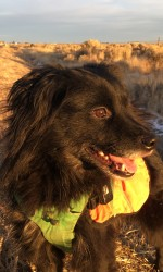 Black fluffy dog in orange harness stands in grasslands at sunset
