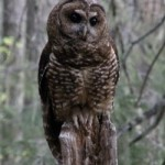 Close up image of a northern spotted owl sitting on a tree branch in daylight
