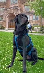 A black lab sits on the lawn in front of a brick university building