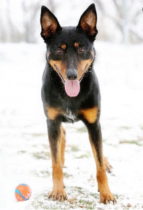 Little black and tan dog with his tongue hanging out, stands in the snow with a ball at his feet.