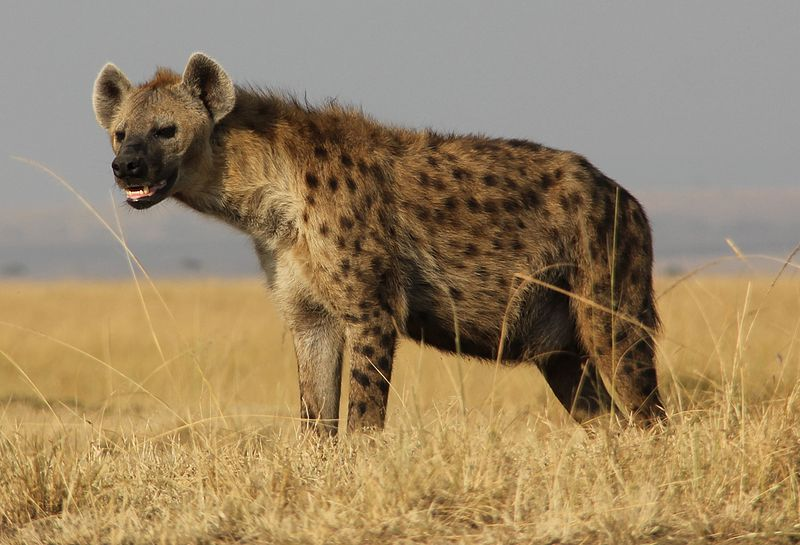 hyena in the grass in africa