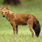 Dhole (fox-like animal) standing in a woodland field