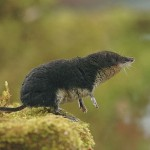 Water shrew standing sideways from viewer on a mossy rock