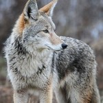 Close up of coyote in wilderness