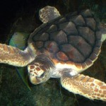 Loggerhead turtle swimming in deep sea