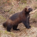 Close up of wolverine above forest underbrush