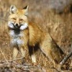Sierra Nevada red fox blending into surroundings of twigs and dried underbrush