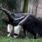 Anteater raising head upwards and standing in front of chain-link fence