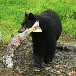Black bear at edge of river with fish in its mouth