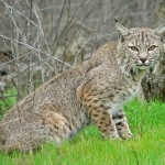Bobcat crouching into young spring grass