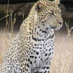 Leopard sitting in tall grass and watching for prey