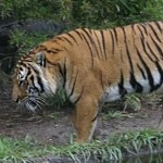 Tiger walking through forested area