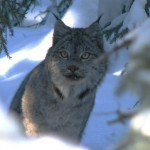 Lynx hiding amongst snow banks and trees
