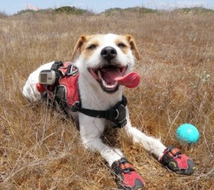 Casey, a Jack Russell terrier, wears a hiking vest and dog booties pants and lays down in a field with a ball beside him