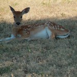 White tailed deer laying down and relaxing in shaded patch of grass