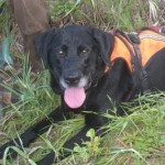 Orion, a lab, lays in wild grass and wears a reflective safety vest