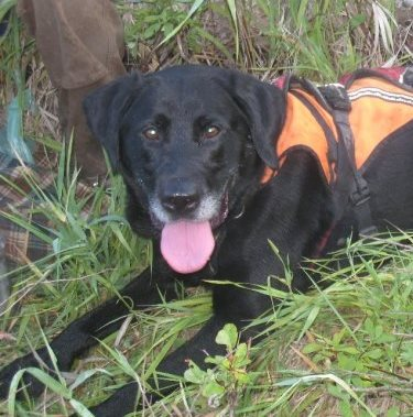 Orion, a lab, lays in wild grass and wears an orange safety vest